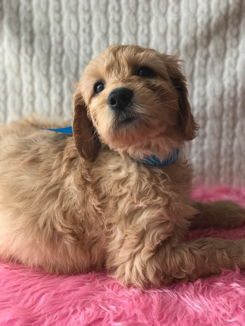 F1 Goldendoodle Puppy For Sale Southern California Idaho Nyc