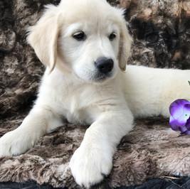 english cream golden retriever puppies for sale pittsburgh pennsylvania
