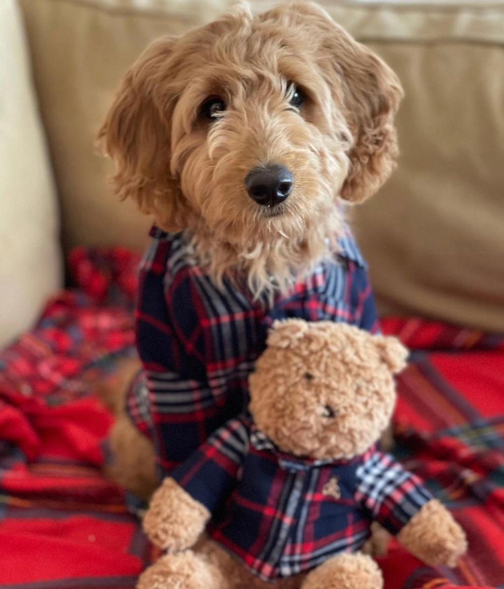 southern california mini english teddybear goldendoodle near me for sale