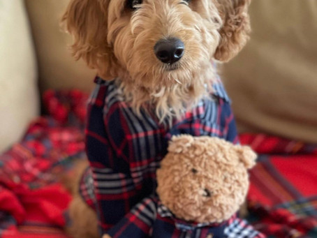 Should I Buy a Goldendoodle Puppy Near Me? (3 Shopping Advice!)