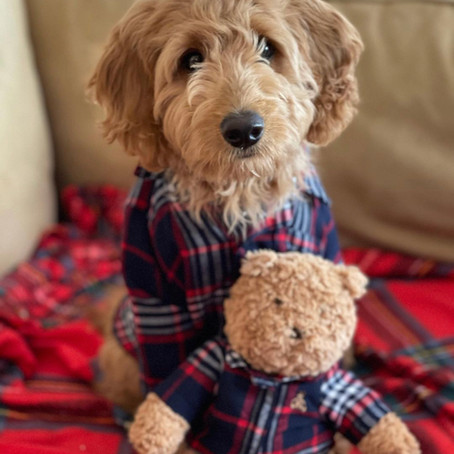 Should I buy a goldendoodle puppy near me?
