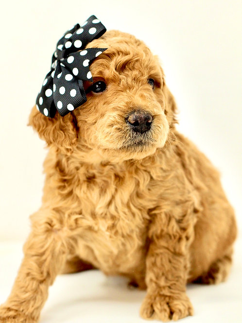 mini goldendoodle California puppies for sale