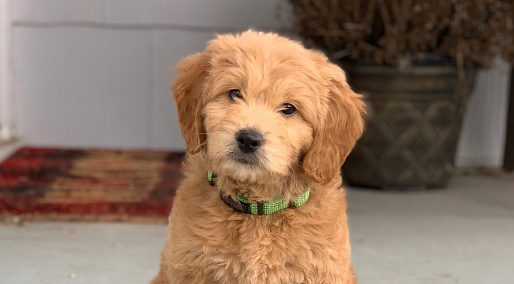 How To Fly with a Goldendoodle Puppy