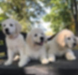 english cream golden retriever puppies for sale pittsburgh pennsylvania