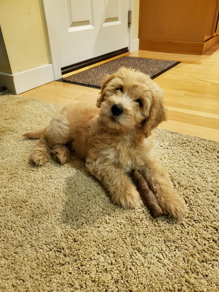 Are Goldendoodles Cuddly