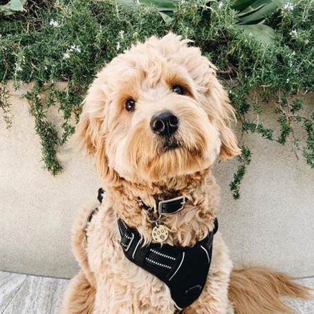 Goldendoodle Grooming Tips