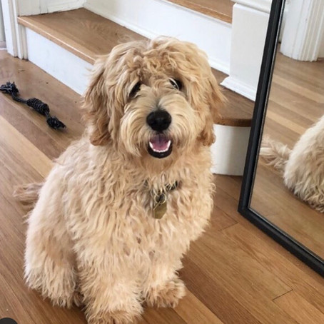 Are Mini Goldendoodles the Perfect Family Dog?