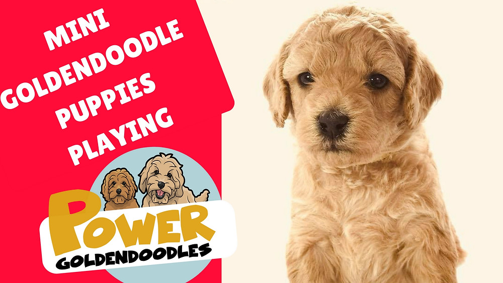 mini goldendoodle puppies for sale boise idaho