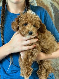 poodle puppy idaho