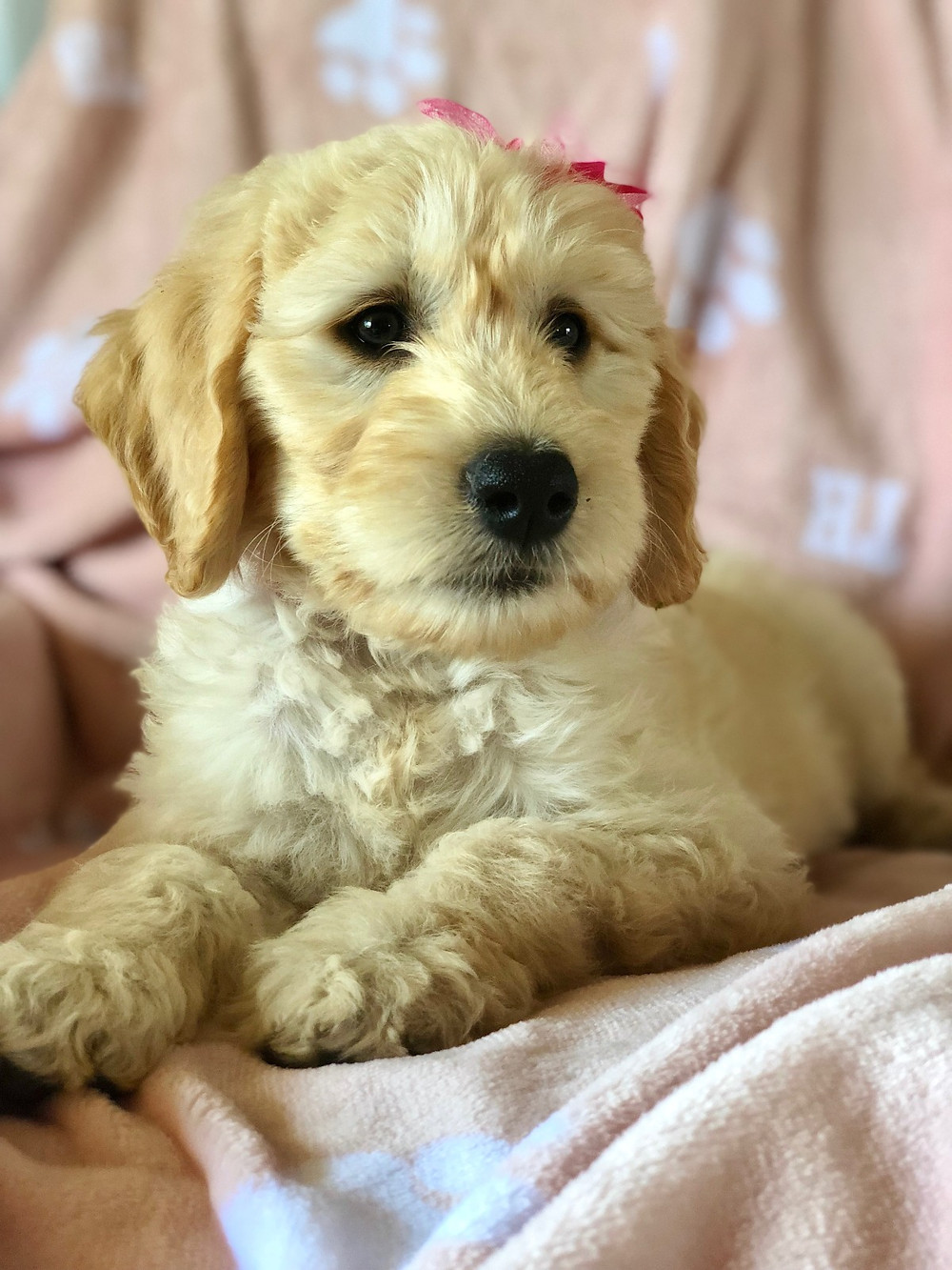 How Much Do Goldendoodle Puppies Eat