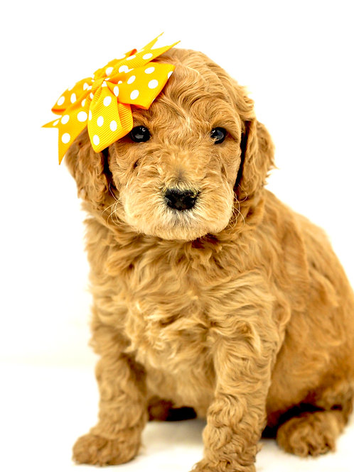 california mini goldendoodle puppies for sale near me