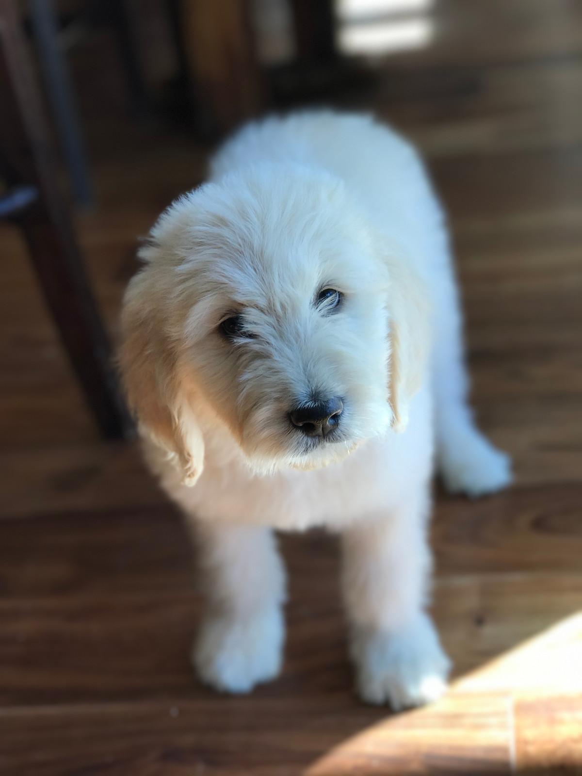 mini goldendoodle puppies doodle for sale boise idaho
