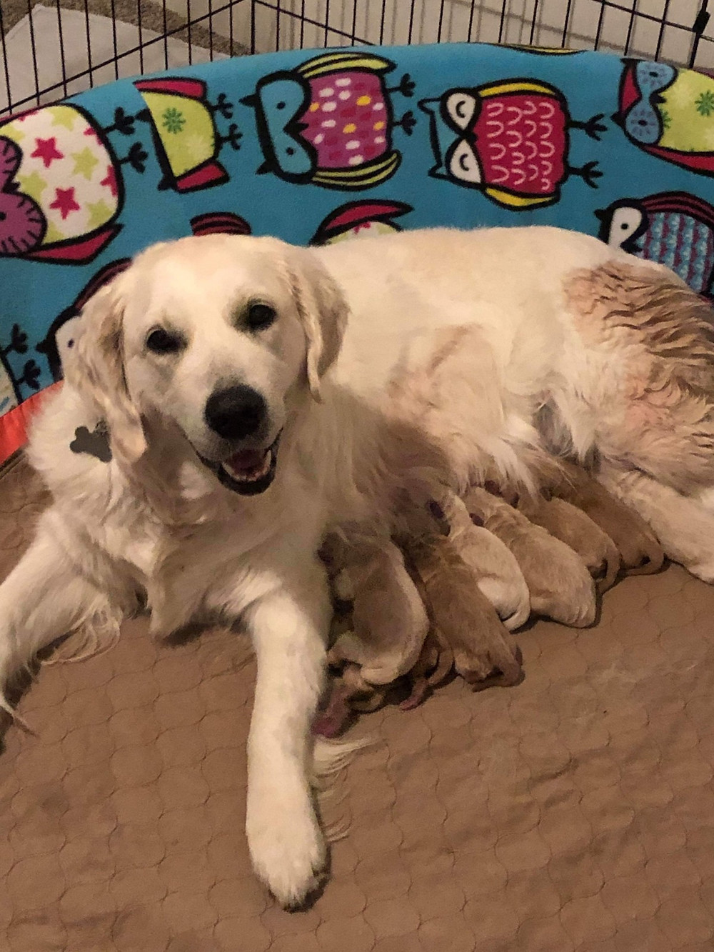 How We Nanny Our Mini Goldendoodle Puppies At PowerGoldens