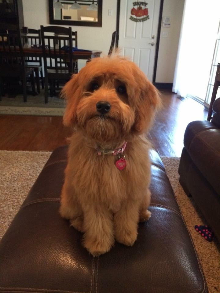 mini goldendoodle puppies doodle for sale boise idaho northwest