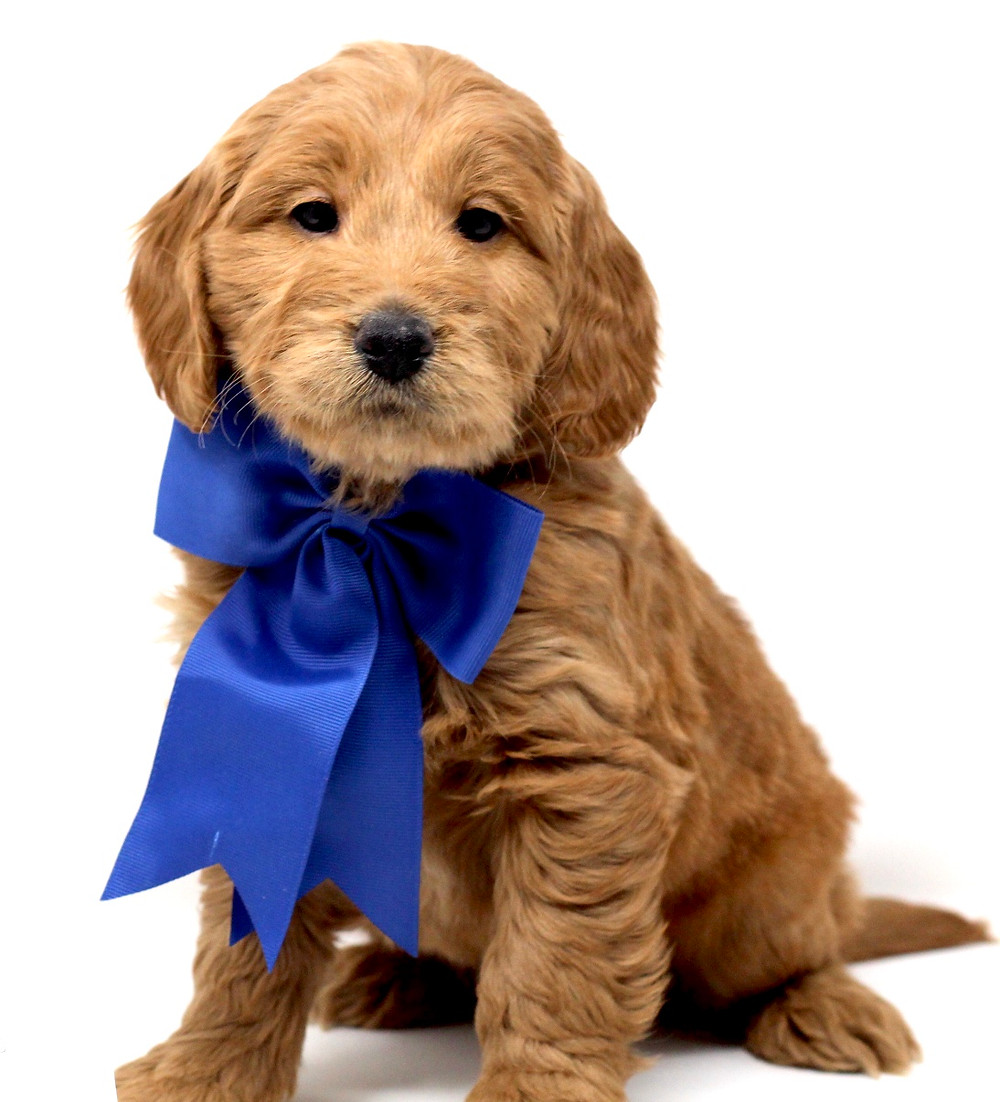Do Goldendoodle Puppies Eat Right Away After Adoption
