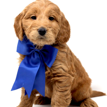 Will a Goldendoodle Puppy Eat Right Away after going home?
