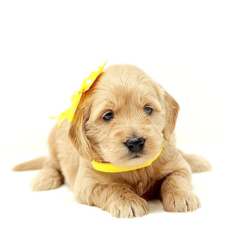 Should I Tell My Kids That We Are Getting a Mini Goldendoodle Puppy?