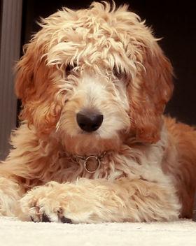 mini english teddybear goldendoodle tennesee