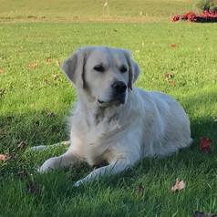 english cream golden retriever puppies pittsburgh pennsylvania