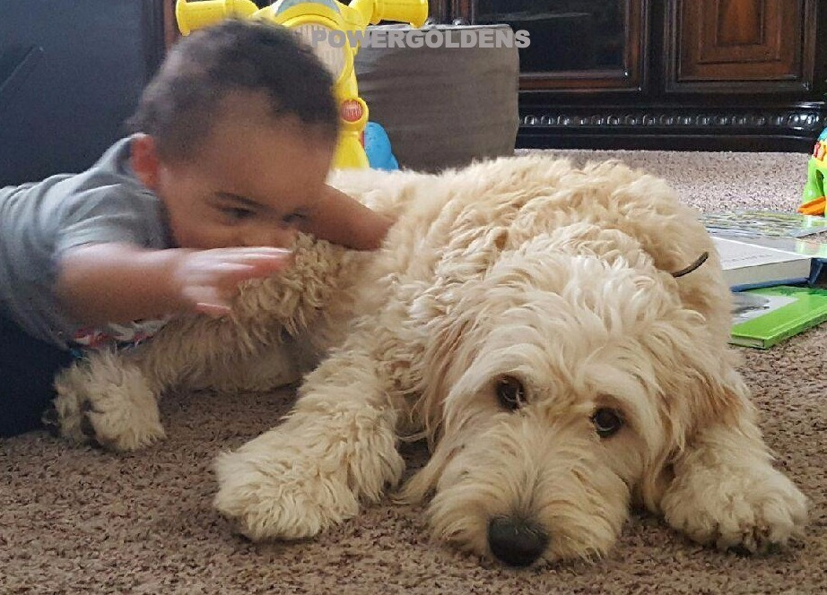 F1 Goldendoodle Puppy Checklist
