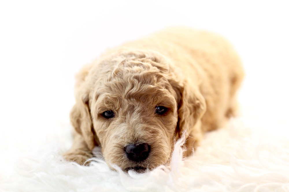 How Much To Feed a Puppy Per Day