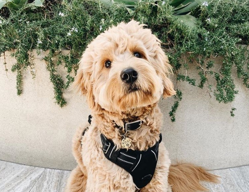 Mini English Goldendoodle Grooming Tips