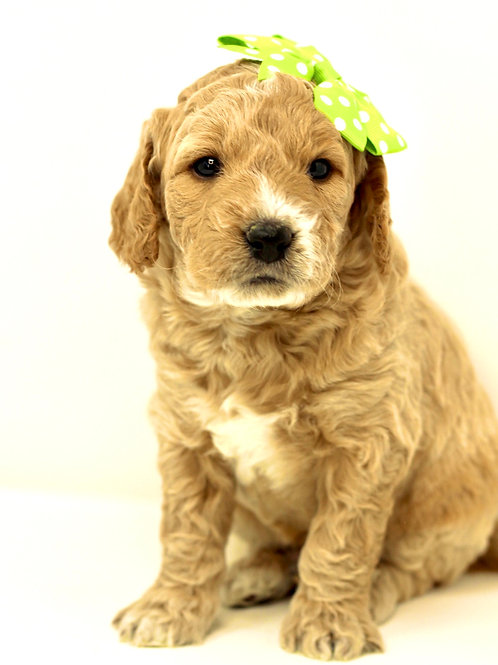 mini goldendoodle california