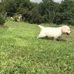 english cream golden retriever puppies for sale pittsburgh pennsylvaniaenglish cream golden retriever puppies for sale pittsburgh pennsylvania