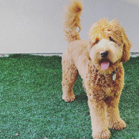 Are Mini Goldendoodles Good with Kids?