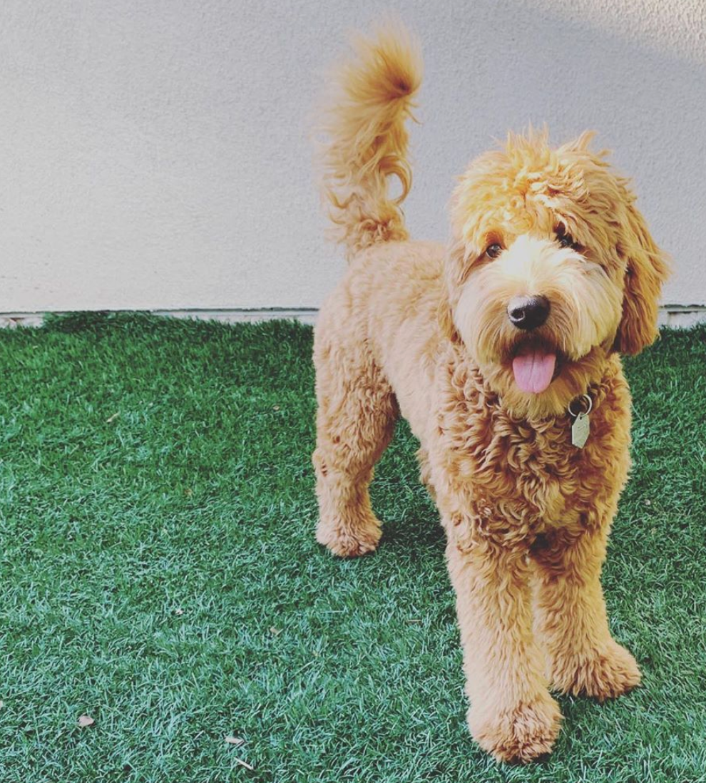 Mini Goldendoodle California good with kids