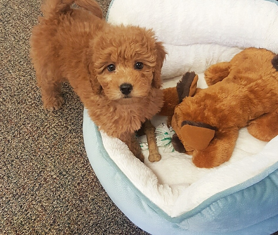 boise idaho goldendoodle puppies for sale