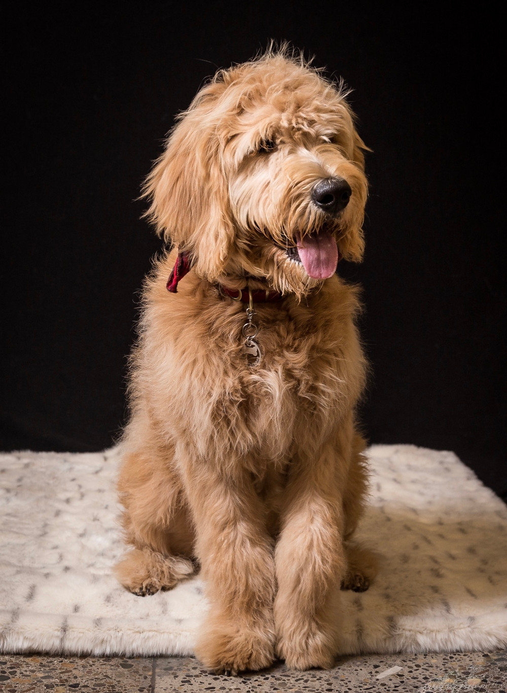 Is a Mini Goldendoodle a Small Breed