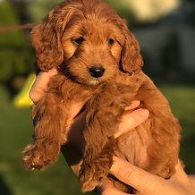 Mini English Goldendoodle Pupppies Idaho California Washington