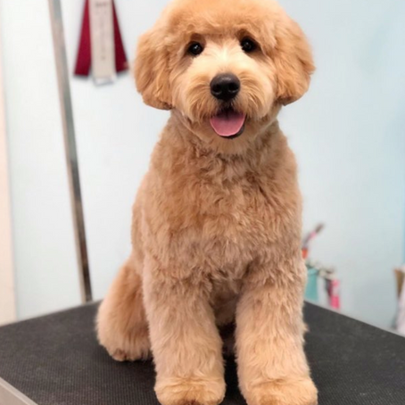 Are Mini English Teddybear Goldendoodles good with kids?