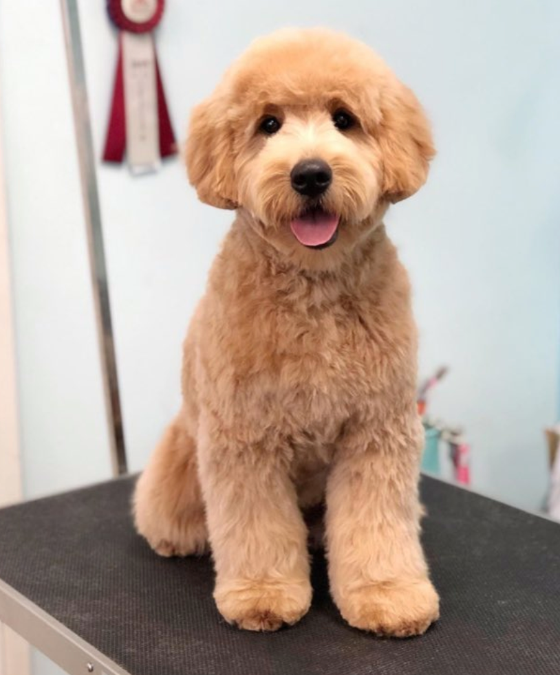 Are Mini English Teddybear Goldendoodles Good With Kids