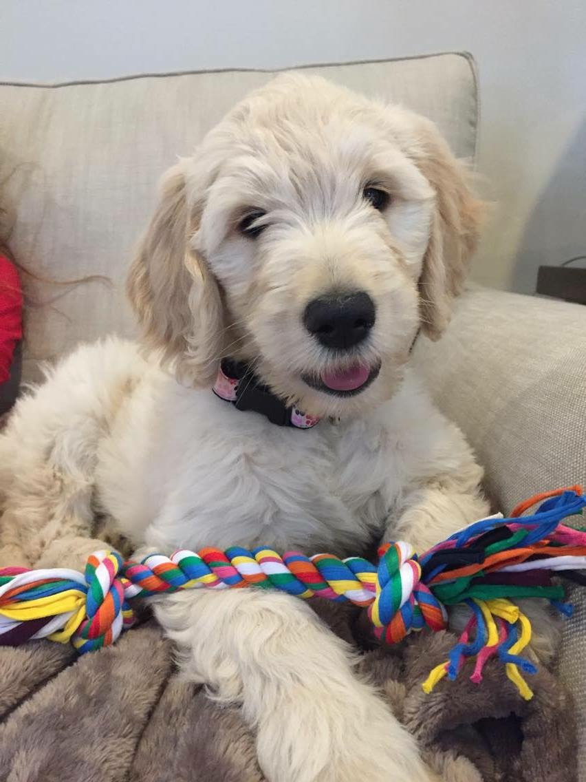 F1 Goldendoodle Puppy For Sale Southern California Idaho Nyc Seattle