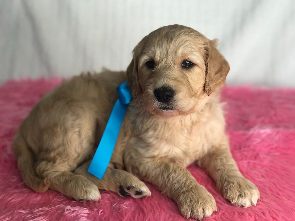 mini english teddybear goldendoodle california, Mini Goldendoodle Puppies For Sale