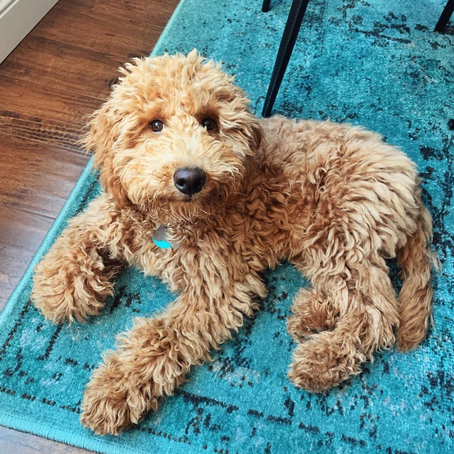 How to Potty Train a Mini Goldendoodle