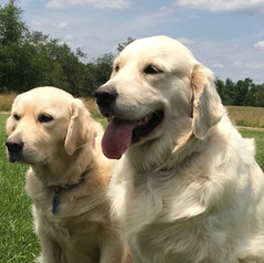 english golden retriever boise idaho puppies