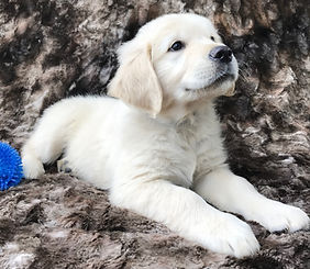 english cream golden retriever puppies for sale pittsburgh pennsylvaniaever pittsburgh pennsylvania