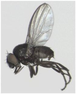 Neophyllomyza quadricornis