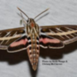 Sphinx Moth.png