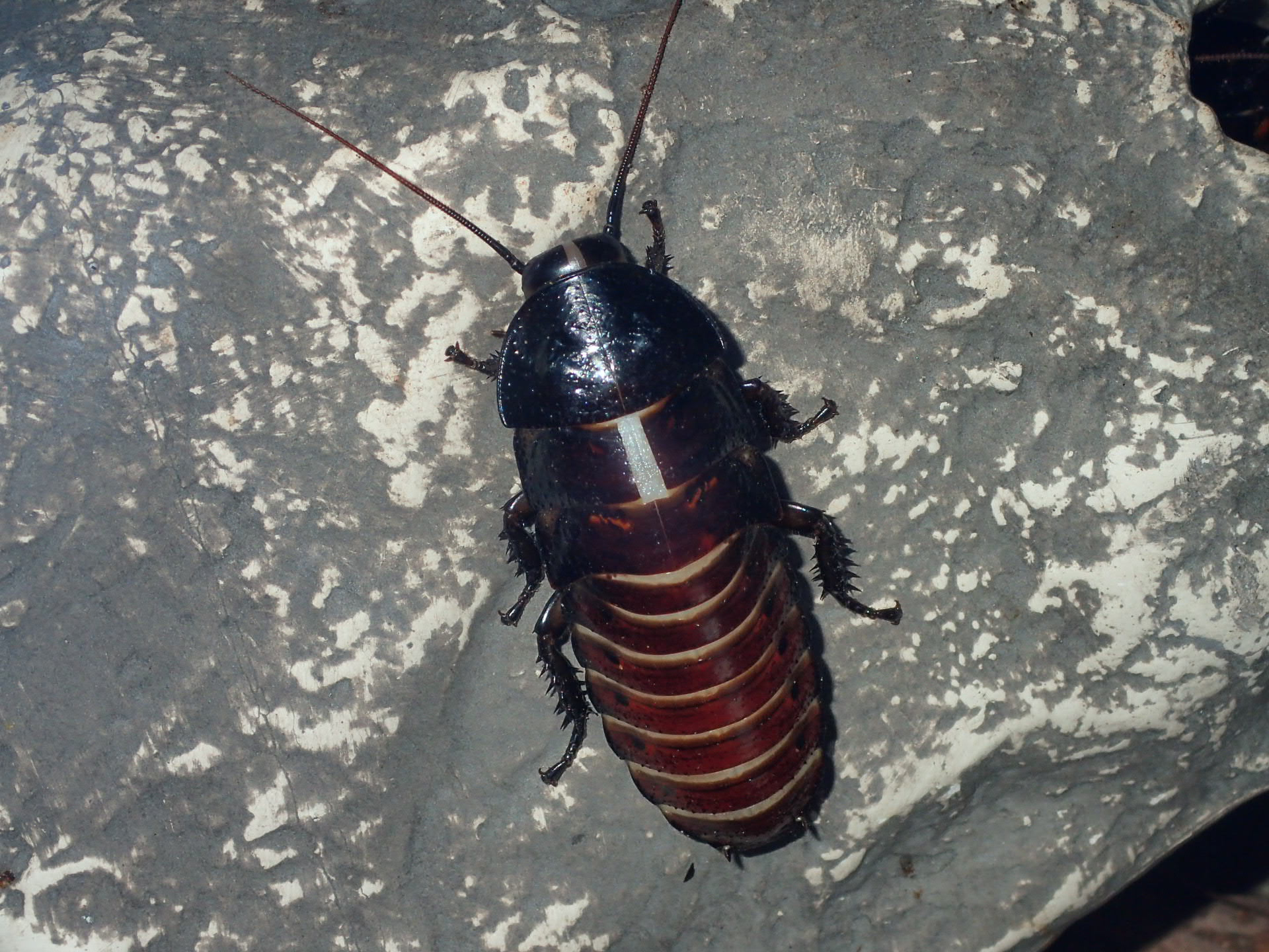 Hissing Cockroach - Molting begins!