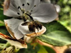 Bee on Apple flower