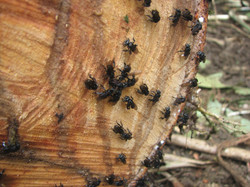 Bees collecting resin