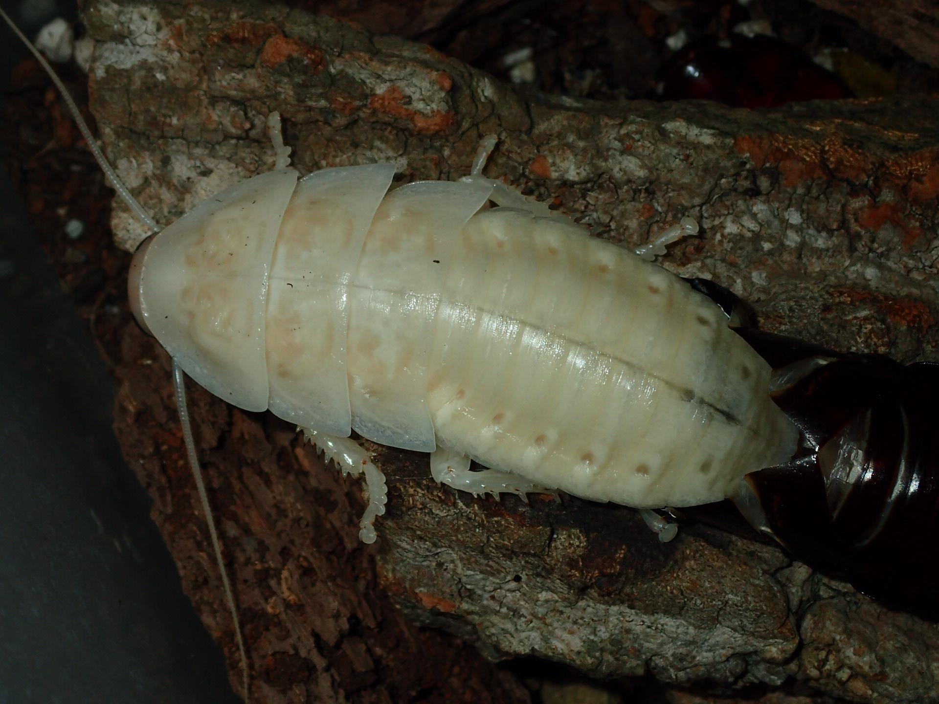 Hissing Roach - Fresh exoskeleon