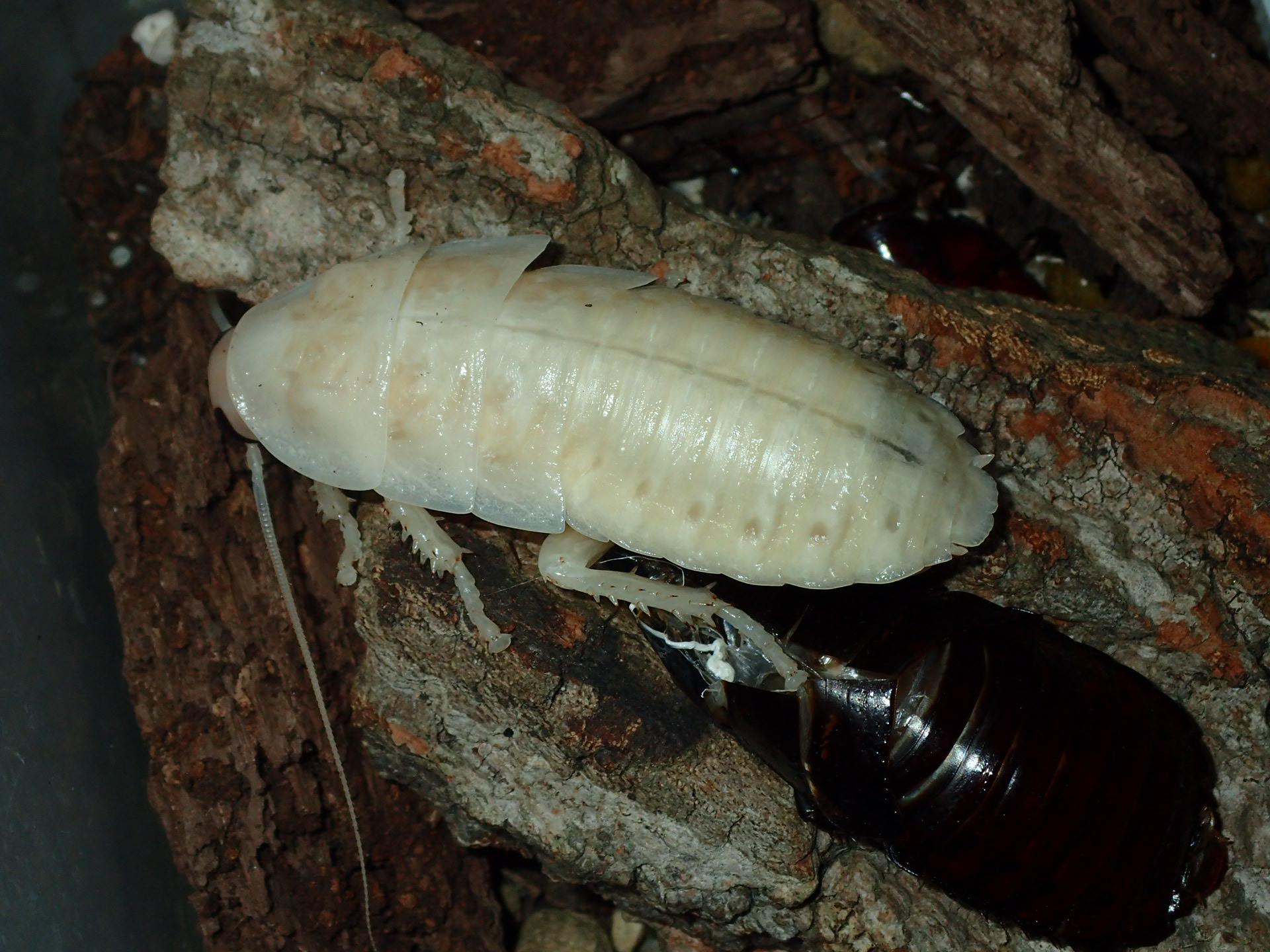 Hissing Roach - Still Vulnerable