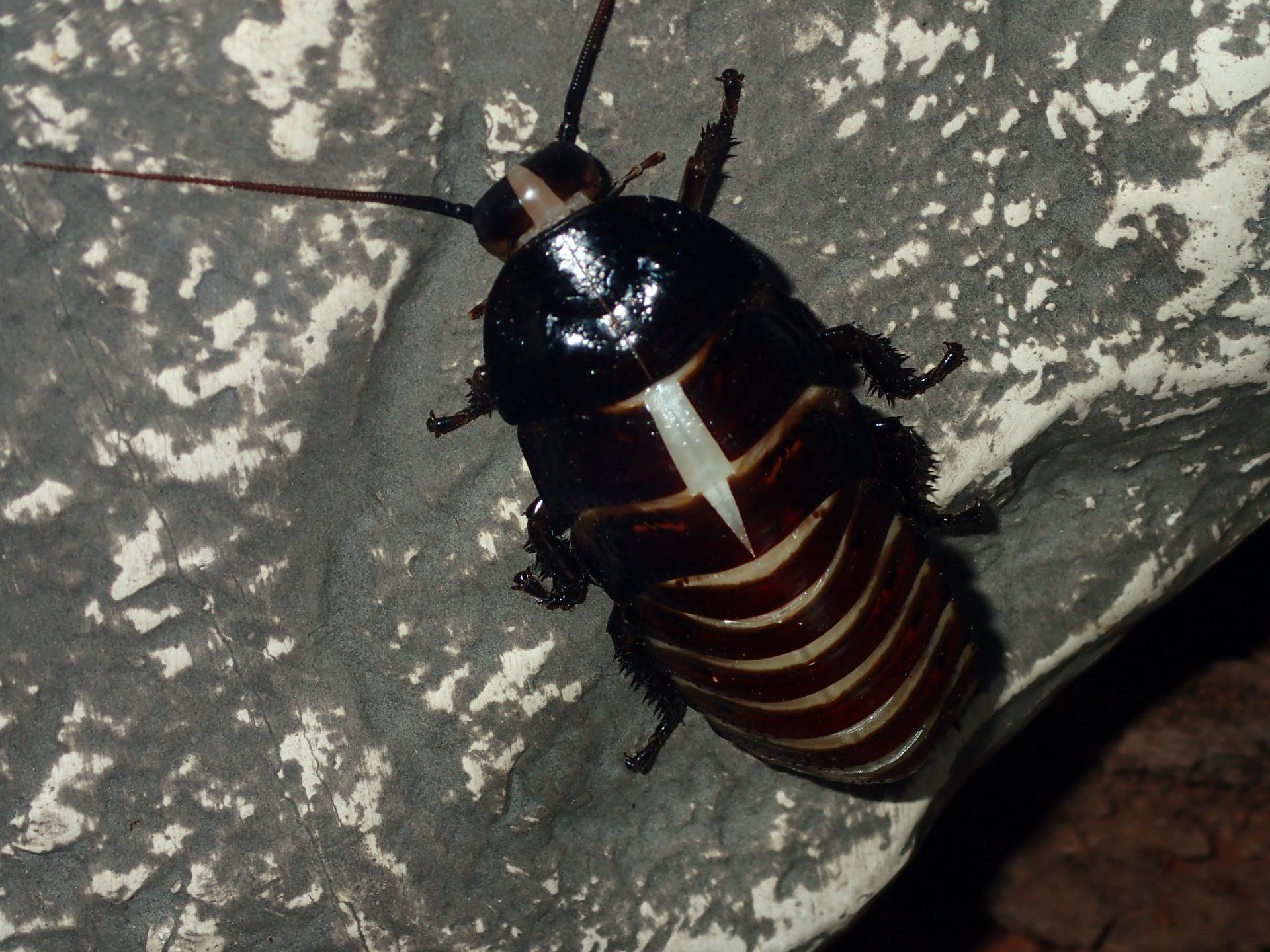 Hissing Roach - Exoskeleton splits