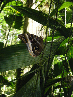 Butterfly with Eye Spots