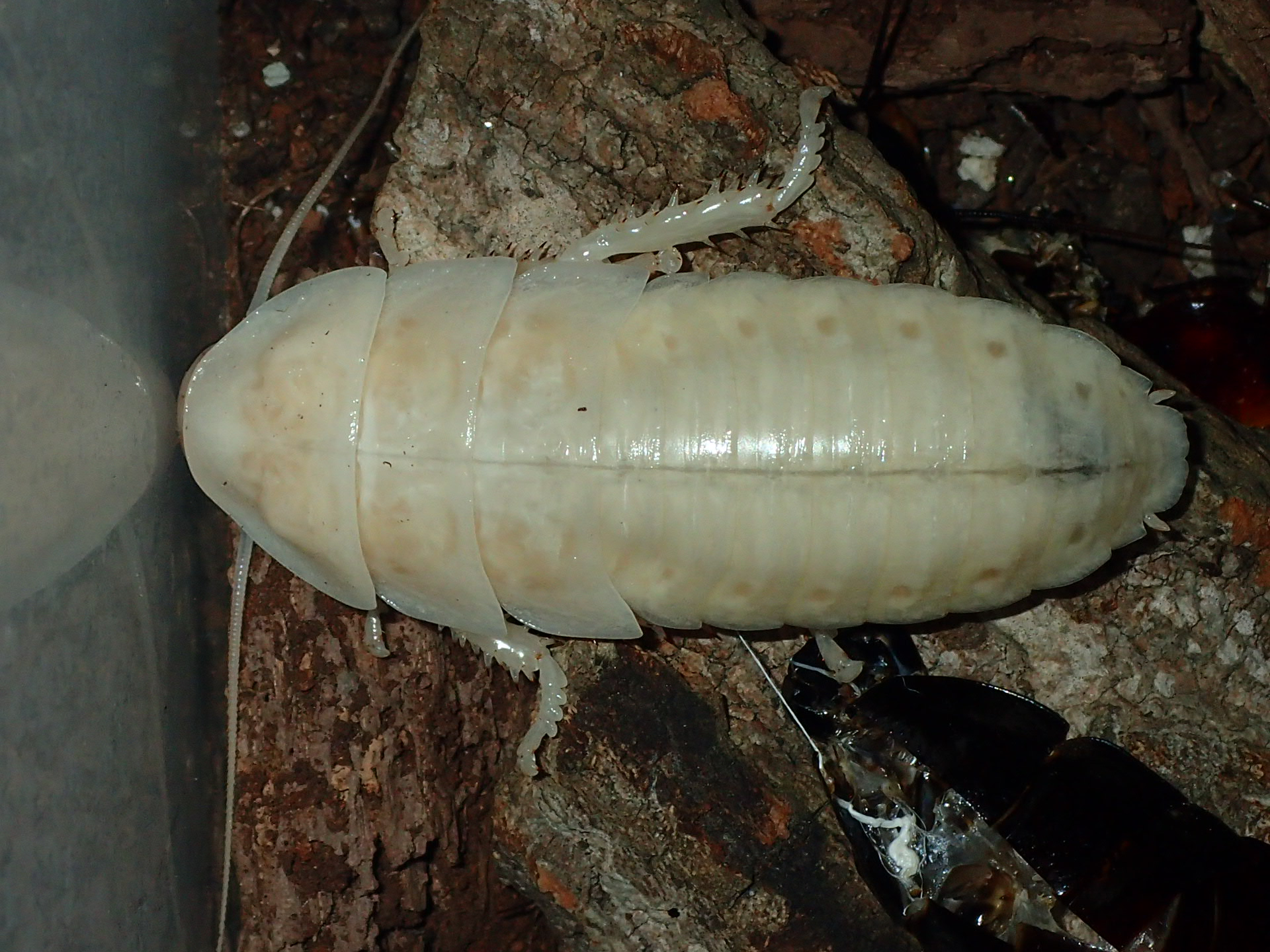 Hissing Roach Freshly Molted
